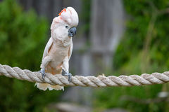 Cockatoo. Parrot on a rope Stock Image