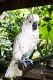Cockatoo parrot in the tropics. Exotic birds in Thailand. Bird portrait. White royalty free stock photography