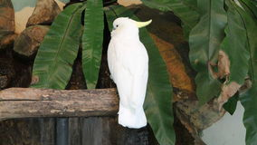 Cockatoo. A parrot. Stock Images