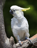 Cockatoo Perched. White cockatoo with yellow head feathers perched in a tree stock photography