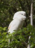 Cockatoo Royalty Free Stock Images