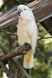 Cockatoo. Portrait of a cockatoo on a branch royalty free stock image