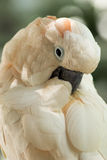 A cockatoo preening. A blush colored cockatoo preens its feathers Royalty Free Stock Image