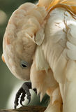 A cockatoo preening. Royalty Free Stock Images