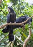 Cockatoo preto australiano imagem de stock