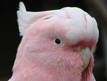 Cockatoo principal de Mitchell Image libre de droits