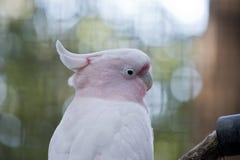 Cockatoo principale di Mitchell Fotografia Stock Libera da Diritti