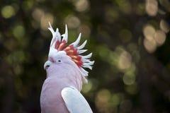 Cockatoo principale di Mitchell Fotografie Stock