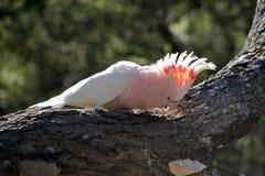 Cockatoo principale di Mitchell Immagine Stock
