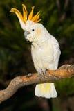 Cockatoo que mira a la izquierda Imagenes de archivo