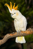 Cockatoo regardant à gauche Images stock