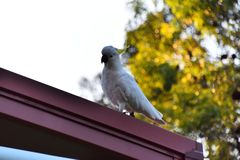 A Cockatoo on a Roof. A wild cockatoo on a red roof stock image