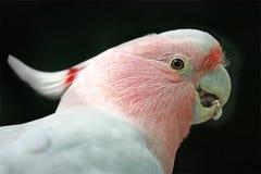 Cockatoo rosado Imágenes de archivo libres de regalías