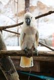 Cockatoo Salmón-con cresta Imagen de archivo libre de regalías