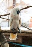 Cockatoo Salmón-con cresta Fotografía de archivo libre de regalías