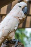 Cockatoo Saumon-crêté Image stock