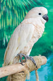 Cockatoo. Royalty Free Stock Images