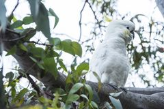 White cockatoo sitting in tree, Australia. Cockatoo sitting in tree, Kennett River, Great Ocean Road Royalty Free Stock Image
