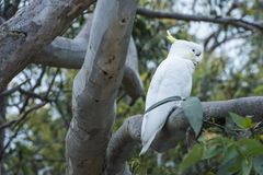 White cockatoo sitting in tree, Australia. Cockatoo sitting in tree, Kennett River, Great Ocean Road Stock Photos