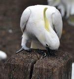 Cockatoo Soufre-Crêté Images libres de droits