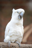 Cockatoo Royalty Free Stock Photography