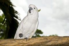 Cockatoo su una filiale. fotografia stock libera da diritti
