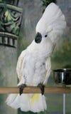 Cockatoo su una perchia fotografie stock libere da diritti