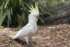 Cockatoo Sulfuro-Con cresta imagenes de archivo