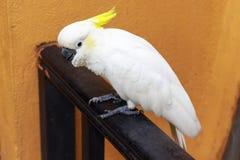 Cockatoo Sulfuro-Con cresta imagen de archivo libre de regalías