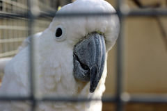 Cockatoo Sulfuro-Con cresta Imágenes de archivo libres de regalías