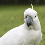 Cockatoo Sulfuro-con cresta (galerita del Cacatua) Fotos de archivo