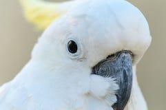 Cockatoo Royalty Free Stock Image