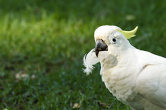 Cockatoo. Sulphur-crested Cockatoo hold a feather in a mouth on green background stock photography