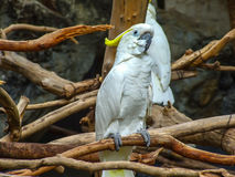 The cockatoo. Sulphur Crested Cockatoo in zoo Royalty Free Stock Images