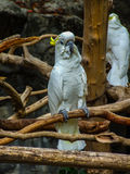 The cockatoo. Sulphur Crested Cockatoo in zoo Stock Image