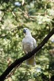 Cockatoo on a tree Stock Images