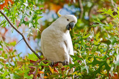 Cockatoo royalty free stock photos