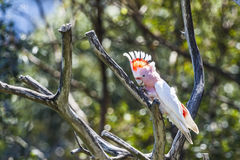 Cockatoo in a tree Royalty Free Stock Images