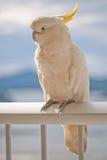 Cockatoo visting Royalty Free Stock Images