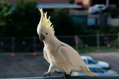 Cockatoo walking on a rail. Royalty Free Stock Images