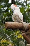 Cockatoo. A white Cockatoo on perch Stock Photo