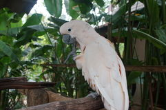 Cockatoo white sitting on a branch and cleans feathers Stock Images