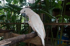 Cockatoo white sitting on a branch and cleans feathers Royalty Free Stock Photography