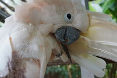 Cockatoo white sitting on a branch and cleans feathers Stock Photography