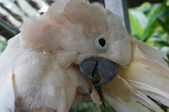Cockatoo white sitting on a branch and cleans feathers Stock Photos