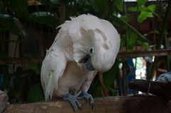 Cockatoo white sitting on a branch and cleans feathers Royalty Free Stock Photos