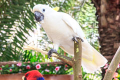 Cockatoo Royalty Free Stock Photography