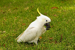Cockatoo Stock Photos