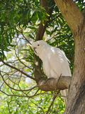 Cockatoo with a yellow crest Royalty Free Stock Photography