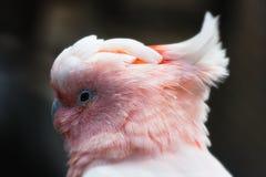 Cockatoo Zolfo-crestato Fotografia Stock